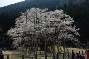 淡墨桜、2009年4月6日