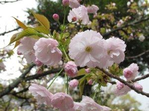 一葉(平野神社)