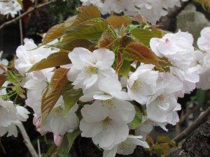 歓喜桜(雨宝院)