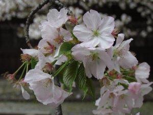 胡蝶(平野神社)