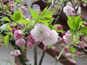 松月(平野神社)