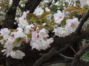 大内山(平野神社)