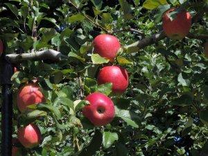 フルーツ街道―りんご