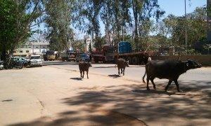 牛のお散歩