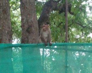 マイソール動物園のお猿さん