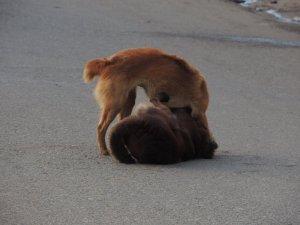 じゃれる犬 (ヌワラエリヤ)